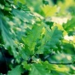Oak green leaves — Stock Photo #57138177