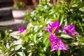 Bougainvillea flower — Stock Photo