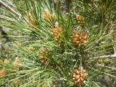 Pinus pinea — Stockfoto