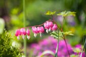 Pink dicentra flower — Stock Photo