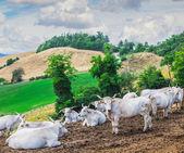 Las vacas están descansando — Foto de Stock