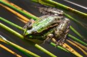 Green frog with warts — Fotografia Stock