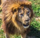 Lion Pride in nature — Stock Photo
