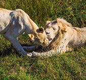 自然の中でライオンのプライド — ストック写真