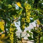 White grapes in sun — Stock Photo #65071309