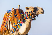 Muzzle of the African camel — Stock Photo