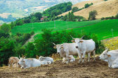 Cows is resting on  hilly landscape — Stock Photo