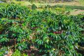 Coffee beans trees on plantation — Stock Photo