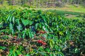 Coffee beans trees on plantation — Stock Photo