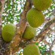 Jackfruit tree in Thailand — Stock Photo #71406423