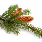 Spruce twig isolated — Stock Photo #52855167