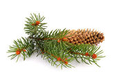 Spruce twig isolated — Foto de Stock