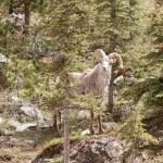 Stone Sheep ram Ovis dalli stonei mountain forest — Stock Photo #77603360