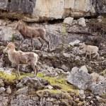 Stone Sheep Ovis dalli stonei family — Stock Photo #77603398