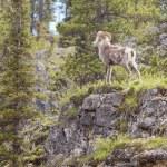 Stone Sheep ram Ovis dalli stonei — Stock Photo #77603432