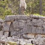 Thinhorn Sheep ram Ovis dalli stonei — Stock Photo #77603440