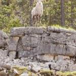 Stone Sheep ram Ovis dalli stonei watching — Stock Photo #77603448