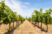 Provence vineyard — Foto de Stock