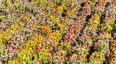 Tagetes garden in spring season — Stock Photo