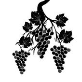 Grape clusters on the vine — Stock Vector
