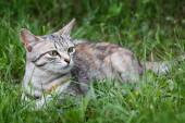 Young cat playing in green grass at park.  — Stock Photo