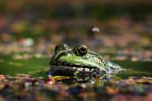 Green frog with lake looking into the camera lens  — Stockfoto