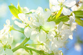 Flowers on a branch of fruit tree.  — Stock Photo