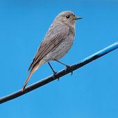Yetişkin yabani kuş fotoğrafı kapatın. ruticilla — Stok fotoğraf
