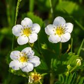 Bahar çilek çiçekleri — Stok fotoğraf