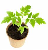 The young plant grows from a fertile soil is isolated on a white — Stock Photo