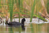 Coot on the lake in the reeds — Stock Photo