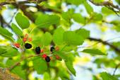 Ripe mulberries in the green foliage — Stock Photo