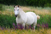 White Horse on a summer pasture. — Stock Photo