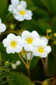 Strawberry blossoms in spring  — Stock Photo