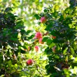 Fresh harvest of ripe red apples on a tree branch — Stock Photo #58137889