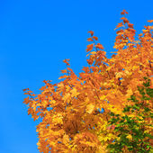 Yellow of maple leaves in autumn on a background of blue sky — Stock fotografie