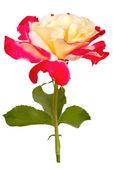 Krásná květina izolovaných na bílém pozadí — Stock fotografie