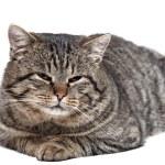 Grau gestreifte Katze liegt auf einem weißen Hintergrund und Blick auf die c — Stockfoto #65093563