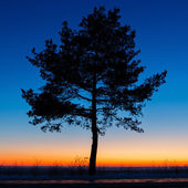 Old tree against the sky with sunset. — Stock Photo