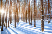 Bright sun in the winter forest with trees covered with hoarfros — Stockfoto