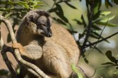 Сommon brown lemur — Stock Photo