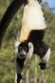 Black-and-white ruffed lemur — Stock Photo