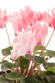 Beautiful pink Cyclamen flower — Stock Photo