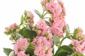 Kalanchoe Calandiva flowers — Stock Photo