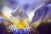 Iris tectorum — Stock Photo