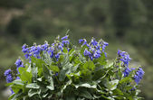 Salvia miltiorrhiza flowers — 图库照片