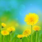 Dandelions (taraxacum officinale) — Stock Photo