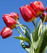 Season spring tulips.Bouquet tulips — Stock Photo