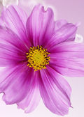 Pink beautiful flower closeup — Stock Photo