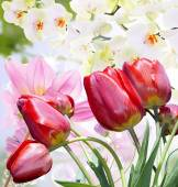 Garden beautiful red tulips.Flowers background — Stock Photo